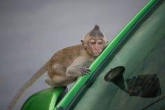 Monkeys on a bonnet Stock Images