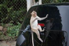 Monkeys on a bonnet Stock Image