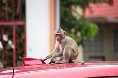 Monkeys on a bonnet Stock Photo