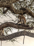 Monkeys in the branches Royalty Free Stock Image