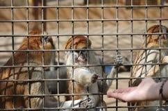 The monkeys Stock Image