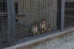 Monkeys in a cage in a zoo. Sadness. Two monkeys look through the bars of the fence. Locked in jail. The Kiev Zoo stock images