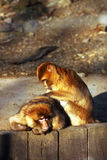 Monkeys Care. Two monkeys take a break for their care Stock Images