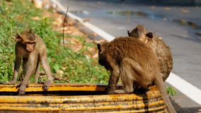 Monkeys Caught a Frog in a Bowl of Water and Play with it. Thailand. Monkey family are living in the National park. Monkeys walk along the road in Thailand stock video footage