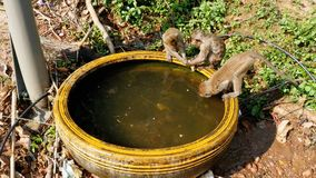Monkeys Caught a Frog in a Bowl of Water and Play with it. Thailand. Monkey family are living in the National park. Monkeys walk along the road in Thailand stock video
