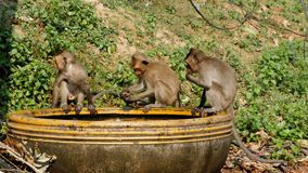 Monkeys Caught a Frog in a Bowl of Water and Play with it. Thailand. Monkey family are living in the National park. Monkeys walk along the road in Thailand stock footage