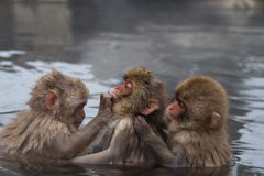 Monkeys on chains. Stock Photography
