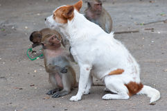 Monkeys checking for fleas. And ticks in the dog Stock Image