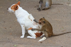 Monkeys checking for fleas and ticks. In the dog Royalty Free Stock Images