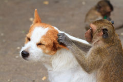 Monkeys checking for fleas and ticks. In the dog Stock Image