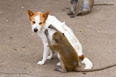 Monkeys checking for fleas and ticks Royalty Free Stock Photography