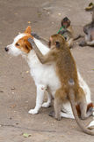 Monkeys checking for fleas and ticks. In the dog Royalty Free Stock Photography