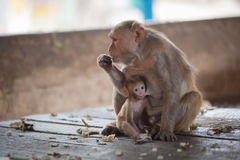 Monkeys checking for fleas. And ticks on concrete fence Royalty Free Stock Photography