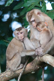 Monkeys checking for fleas and ticks on concrete fence in the pa Royalty Free Stock Image