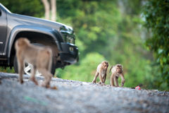Monkeys checking for fleas and ticks on concrete fence in the pa Royalty Free Stock Photos