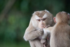 Monkeys checking for fleas and ticks on concrete fence in the pa Royalty Free Stock Images