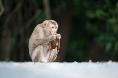 Monkeys checking for fleas and ticks on concrete fence in the pa. Rk Royalty Free Stock Photography
