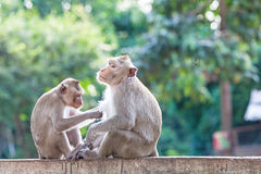 Monkeys checking for fleas and ticks on concrete fence in the pa Royalty Free Stock Photography