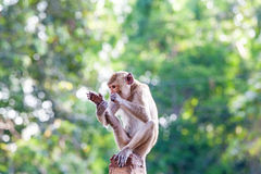 Monkeys checking for fleas and ticks on concrete fence in the pa Royalty Free Stock Photo