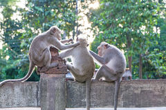 Monkeys checking for fleas and ticks on concrete fence in the pa Stock Photo