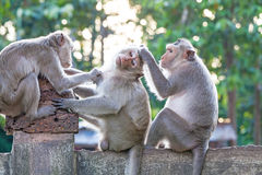 Monkeys checking for fleas and ticks on concrete fence in the pa. Rk on natural light Royalty Free Stock Photos