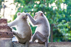 Monkeys checking for fleas and ticks on concrete fence Royalty Free Stock Photo
