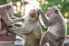 Monkeys checking for fleas and ticks on concrete fence Stock Images
