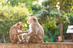 Monkeys checking for fleas and ticks on concrete fence in the park Royalty Free Stock Photo
