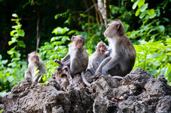 Monkeys checking for fleas and ticks in the family Royalty Free Stock Photo