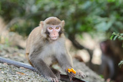 Monkeys checking for fleas and ticks in the family. Royalty Free Stock Photo