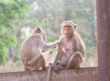 Monkeys checking for fleas and ticks in the park Stock Image