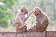 Monkeys checking for fleas and ticks in the park Royalty Free Stock Photos