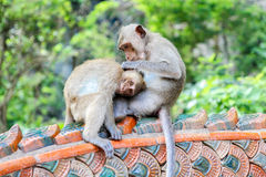 Monkeys checking for fleas and ticks. On the wall Royalty Free Stock Photos