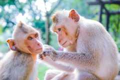 Monkeys checking for fleas. And ticksCheck for ticks to each monkey Royalty Free Stock Image