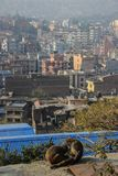 Monkeys clean each other against the city of Kathmandu. stock images