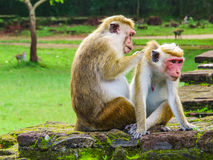Monkeys cleaning each other on the ruins of Polonnaruwa Royalty Free Stock Images