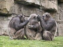 Monkeys on Cleaning Tasks. Three monkeys removing parasites each other Stock Image