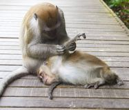 2 monkeys cleaning. Monkeys cleaning themselves at a nature reserve royalty free stock images