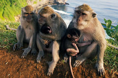 Monkeys on the cliff. At Uluwatu Temple, Bali, Indonesia stock image