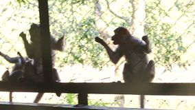 Monkeys Climb about Cage Wire-net Ask for Food Guy Gives in Park