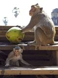 Monkeys and Coconuts Royalty Free Stock Photo