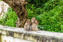 Monkeys (crab eating macaque) grooming one another. Royalty Free Stock Photography