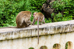 Monkeys (crab eating macaque) grooming one another. Stock Photography
