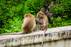 Monkeys crab eating macaque grooming one another. Stock Image