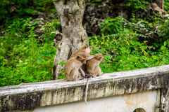 Monkeys crab eating macaque grooming one another. Stock Photo