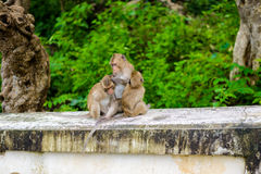 Monkeys crab eating macaque grooming one another. Stock Photos
