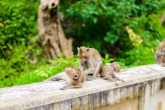 Monkeys crab eating macaque grooming one another. Royalty Free Stock Photography