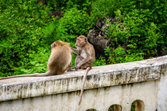 Monkeys crab eating macaque grooming one another. Royalty Free Stock Image