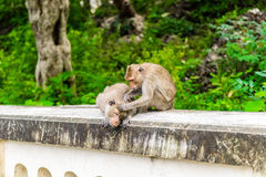 Monkeys crab eating macaque grooming one another. Stock Photography