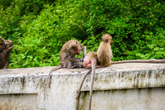Monkeys crab eating macaque grooming one another. Royalty Free Stock Images